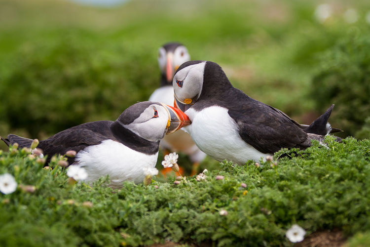 Puffins on Skomer Island of the coast of Pembrokeshire Wales UK 2019 Birds Pembrokeshire Puffin Puffins Skomer Island Uk Wildlife Bird Animal Animal Themes Animal Wildlife Vertebrate Group Of Animals Animals In The Wild Two Animals Day No People Nature Selective Focus Land Plant Outdoors Green Color Field Grass White Color Animal Family SKOMER
