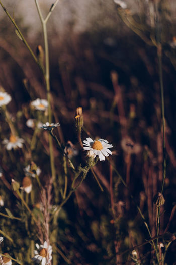 Plant Fragility Vulnerability  Flower Growth Flowering Plant Beauty In Nature Close-up Freshness Nature Focus On Foreground Land Day No People Field Selective Focus Flower Head Petal Inflorescence Plant Stem Outdoors Wilted Plant