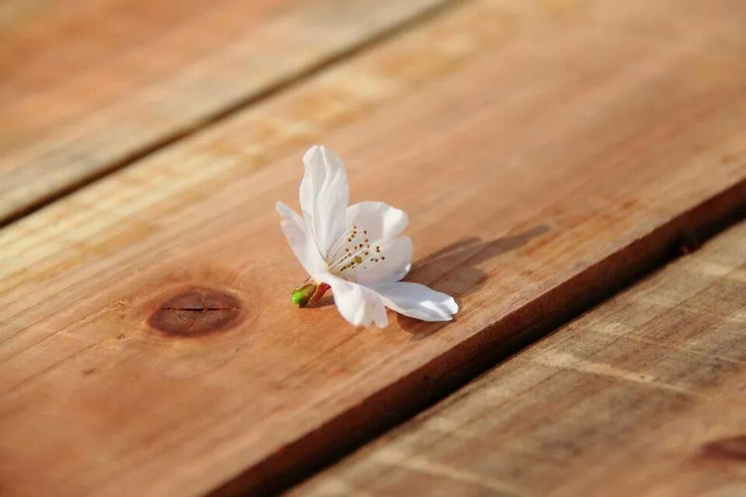wood - material, flower, wooden, petal, table, white color, freshness, fragility, wood, plank, flower head, close-up, high angle view, indoors, hardwood floor, white, nature, selective focus, beauty in nature, no people