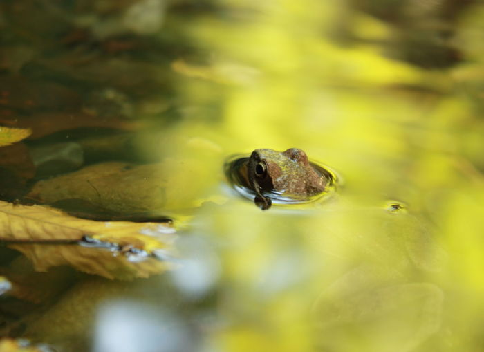 Frog in golden bath. Acqua Animals In The Wild Foglia Frog Gold Lago Lake Leaf Nature Oro Rana Water EyeEmNewHere Animals Neon Life Pet Portraits Paint The Town Yellow Respect For The Destinations We Visit Perspectives On Nature Summer Exploratorium The Traveler - 2018 EyeEm Awards The Portraitist - 2018 EyeEm Awards Capture Tomorrow My Best Photo
