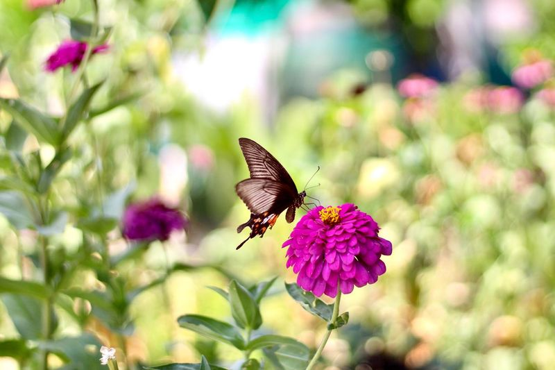 Butterfly Island Zinnia in the flower garden Butterfly Island Zinnia In The Flower Garden Insect Flower Animal Themes Flowering Plant Animal Wildlife Animal Beauty In Nature Invertebrate Plant One Animal Animals In The Wild Petal Fragility Flower Head Vulnerability  Animal Wing Freshness Butterfly - Insect Growth Focus On Foreground