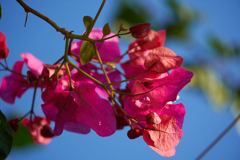 Low angle view of bougainvillea on plant against sky