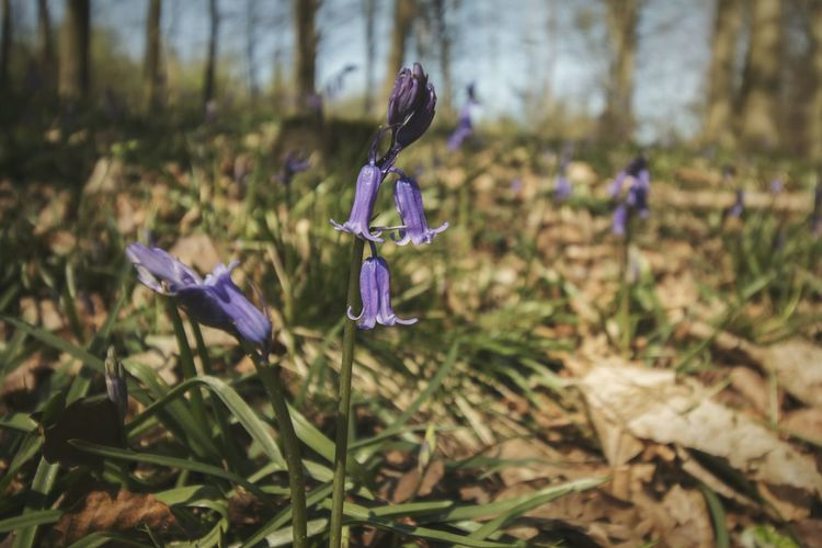Bluebell Purple