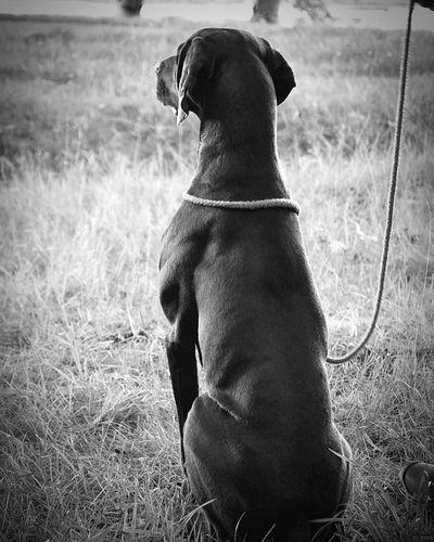 Fausto, waiting for his turn to practice for his exam next saturday... Blackandwhite Photography Mansbestfriend Nikond90 Gsp Vanderovertscheleij Dsk Gundog Birddog Huntingdog