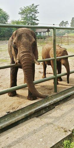 Serengeti-Park, Hodenhagen Elephant