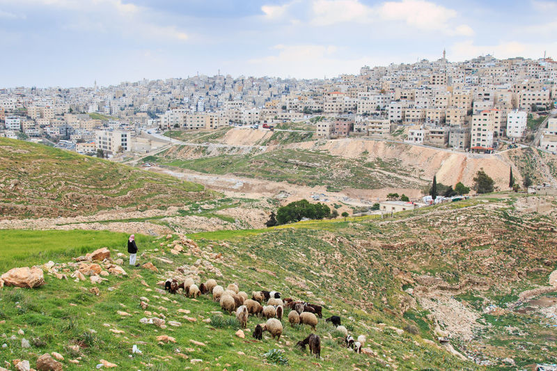 Sheep Grazing On Field Against Townscape