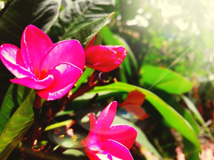 Frangipani flowers Flower Head Flower Leaf Red Pink Color Petal Periwinkle Water Close-up Plant