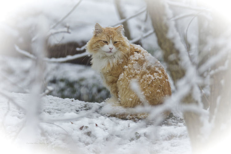 Maine coon cat sitting on snow covered field