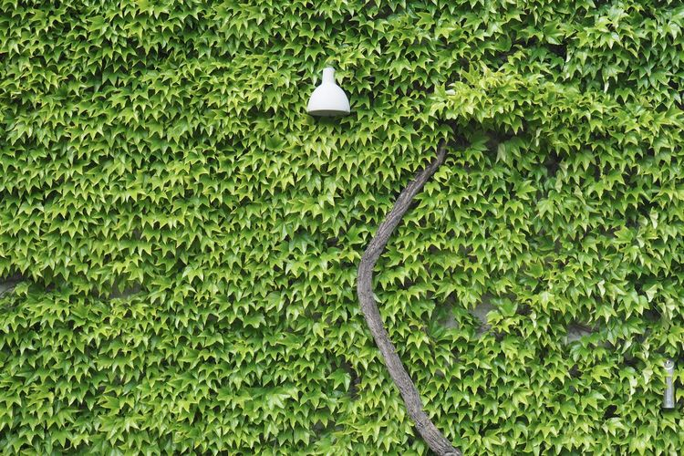 Full Frame Shot Of Ivy Plant On Wall