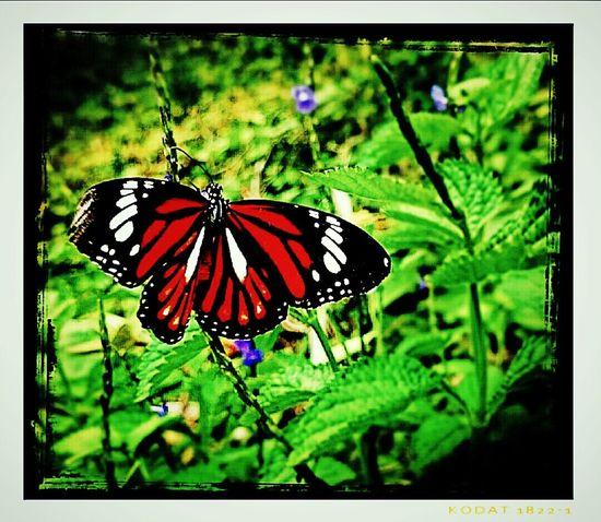 Taking Photos Mizz Nunuy Butterfly ❤ EyeEm Butterflies  Eyeem Fauna Fauna Sony Xperia Z2