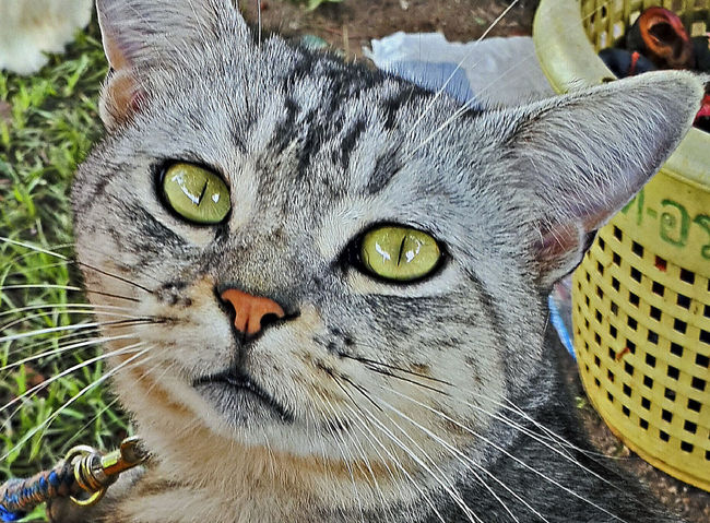 My cats Thailand Animal Themes Cat Domestic Animals Domestic Cat Feline My Cats No People One Animal Pets Portrait Of Cat
