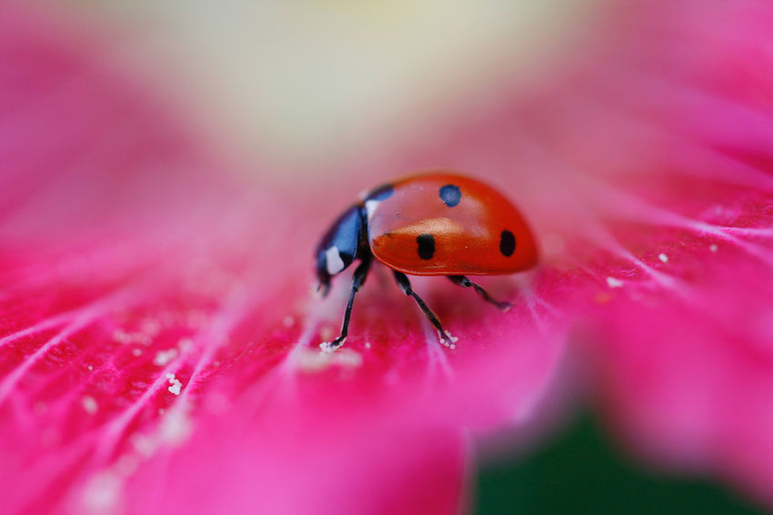 Animal Themes Beauty In Nature Coccinelle Coccinelle🐞 Fragility Insect Macro Nature One Animal Petal Pink Color Single Flower