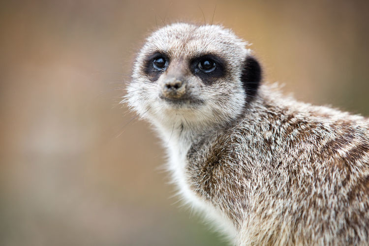 Animal Body Part Animal Eye Animal Themes Animal Wildlife Animals In The Wild Close-up Day Looking At Camera Mammal Meerkat Meerkats Nature No People One Animal Outdoors Portrait