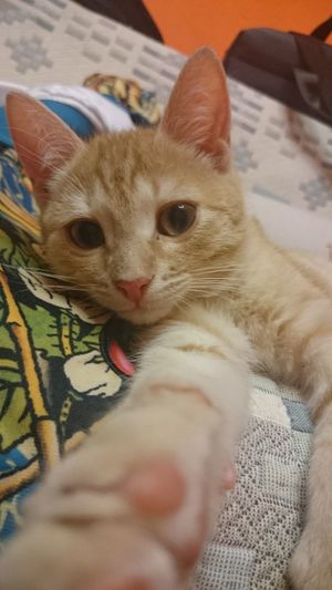 Domestic Cat Pets Domestic Animals Animal Themes Mammal One Animal Indoors  Looking At Camera Home Interior Feline Kitten Portrait Human Hand One Person Close-up Day Ginger Selfie ✌ Selfies Catselfie