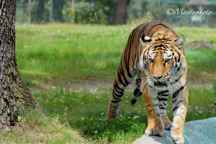 Cat Cats Tiger EyeEm Nature Lover Nature_collection Nature Naturelovers Nature Photography Animal Animal_collection Taking Photos Hello World Colors Check This Out