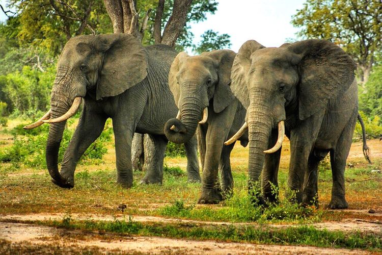 A trio of Elephants 🐘 such beautiful creatures and are the only living thing that have the right to their tusks Worthmorealive Savetheelephants Stoppoaching Elephant Elephants Trio Elephant ♥ Bigbulls Bullelephants