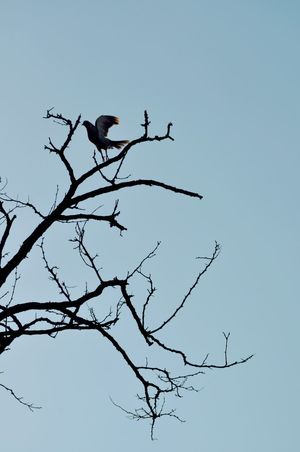 Animal Themes Animal Wildlife Animals In The Wild Bare Tree Beauty In Nature Bird Bird Of Prey Blue Branch Clear Sky Day Low Angle View Nature No People One Animal Outdoors Perching Sky Tree