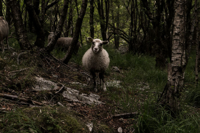 Sheep Sheep Forrest Nature Canonm100 Canonphotography Norway🇳🇴 EyeEm Selects Tree Portrait Forest Looking At Camera Livestock Tag Flock Of Sheep Lamb Domestic Livestock Rural Pasture Domesticated Animal Tag