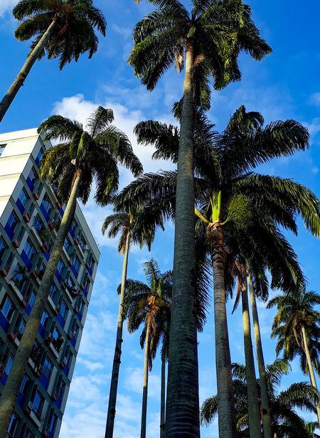 Rio De Janeiro Sol J7primephotography Brazil EyeEmNewHere Céu Tree Palm Tree Tree Trunk Blue Sky Green Color Tall - High Plant Life Growing