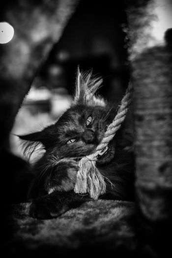 Carnassier Cat Feline Cat Lovers Cats Of EyeEm Kitten Domestic Animals Domestic Cat Pets Pet Portraits Pet Photography  Blackandwhite Close-up