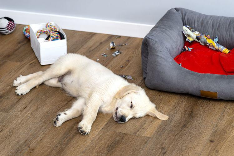 High angle view of dog lying on floor at home