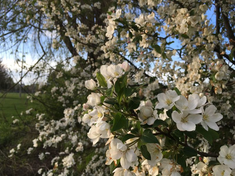 Flower Blossom Fragility Springtime Beauty In Nature Freshness Apple Blossom Tree White Color Nature Apple Tree Branch Growth Botany Cherry Tree Orchard Petal Flower Head Day