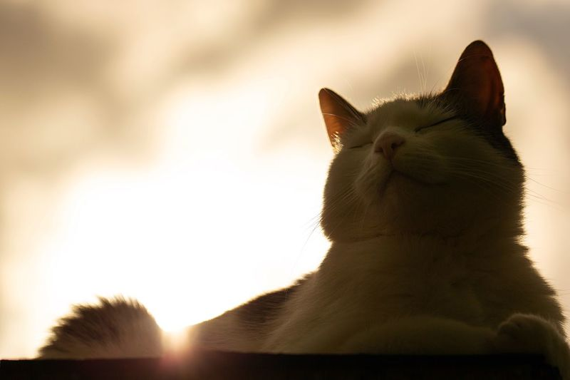 Cat in the sun First Eyeem Photo Catoftheday Cats Cats Of EyeEm Cat Lovers Mood Warm Sunbeam Sunset Portrait Sunbathing Cat Eyes Closed  Sun Animal Themes Animal One Animal Vertebrate Mammal Pets Domestic Animals Sky Animal Body Part Close-up Animal Head  Outdoors EyeEmNewHere The Portraitist - 2018 EyeEm Awards