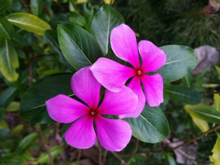Flower Petal Close-up Outdoors No People Freshness Day Beauty In Nature Growth Flower Head Pink Color Periwinkle Nature Fragility Plant ดอกไม้ (Flower) ดอกไม้