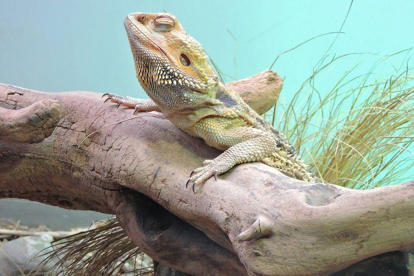 Rettile Animal Pogona Nature