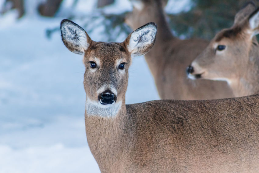 Shades Of Winter The Week on EyeEm Wildlife Photography Winter Wintertime Animal Themes Animal Wildlife Animals In The Wild Beauty Close-up Day Deer Doe Female Deer Focus On Foreground Looking At Camera Mammal Nature No People Outdoors Pack Of Deer Portrait Snow Covered White-tailed Deer Wildlife