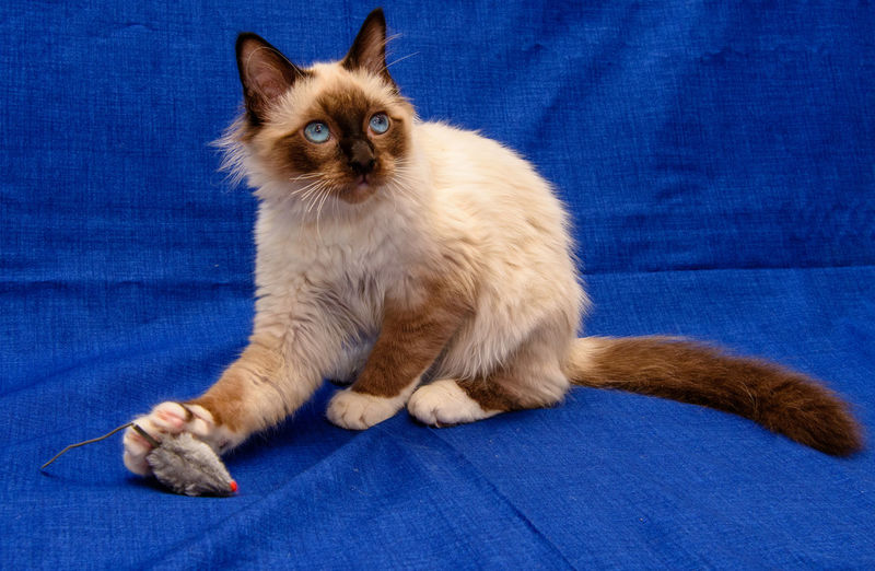 Male Birman kitten - impossible to get him to keep still to take his photograph. Birman Cat Blue Eyes Animal Themes Blue Background Cat Domestic Domestic Animals Feline Kitten Kittenoftheday Kittens Of Eyeem Pets Relaxation