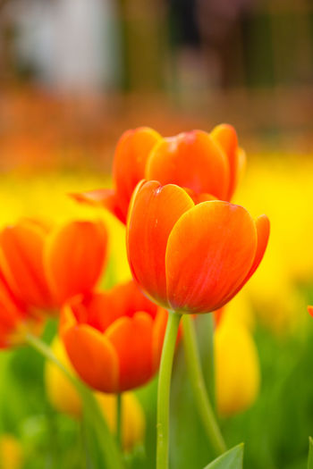 Tulips🌷 Flower Flowering Plant Freshness Plant Fragility Vulnerability  Beauty In Nature Orange Color Growth Close-up Petal Tulip Flower Head Inflorescence Nature Focus On Foreground Day No People Field Plant Stem Outdoors Orange Flowerbed