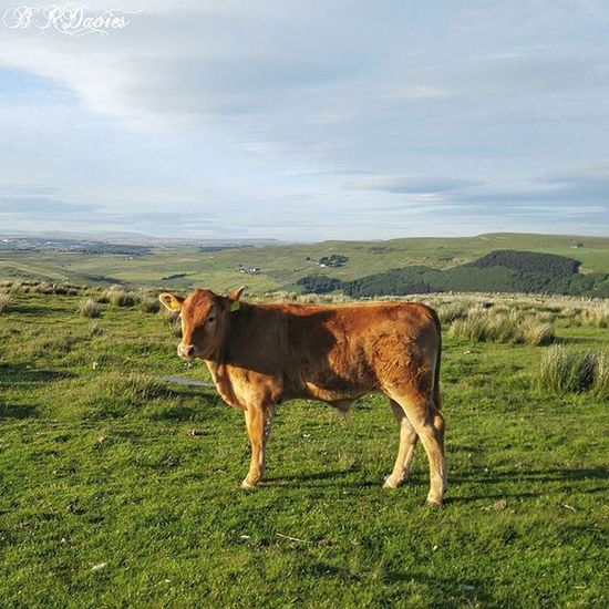 Ginger calf on Fochriw mountain ( This is my TBT  this week. A few months ago I was on a little walk over the top of the mountain to check some old ruins out when I was engulfed by a herd of cows on the common. These cows are allowed to roam free over thousands of acres of common land and can walk miles in one day. This calf caught my eye with its beautiful ginger colouring and yellow earings. Wales Welsh Cymru Fochriw Farm Farming Cow Calf Mountain Clouds Bluesky Landscape Landscapes Landscapestyles_gf Fabscape Ic_landscapes Igcentric_nature Landscape_lovers Landscapelovers Landscapelover Beautiful Rural_love Natur Global_secrets bestnatureshot natureaddict walesonline nature_sultans instaworld_love )