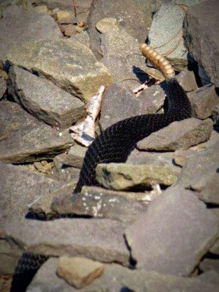 Summer2014 SlateRun Pennsylvania Color Photography Wildlife Outdoors Nature Rattlesnake Snake Rock Rocks