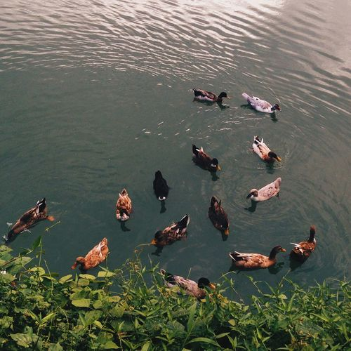 In the pond Scenics High Angle View Animal Themes Water Swimming Nature No People Outdoors Day Beautiful Beauty In Nature Animal Photography Philippines Grass Ducks Amazing Visual World