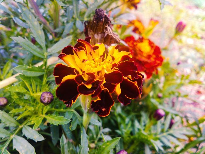 Flower Freshness Close-up Growth Flower Head Flower Freshness Fragility Close-up Growth Flower Head Petal Beauty In Nature Plant Season  Nature Focus On Foreground Springtime In Bloom Orange Color Bunch Of Flowers Blossom Day Marigold Botany