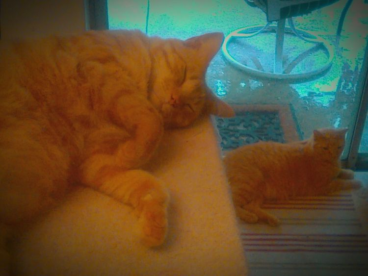 The Magic Mission Cat Domestic Cat Sleeping Lying Down Resting Home Feline Pets Animal Themes Indoors  Cats Domestic Animals Cats Chilling Double Take  Double Trouble Two Of A Kind Orange Cats Twin Cats Doppelgänger Doppleganger Seeing Double Tabbycats Relaxation Cat Brothers