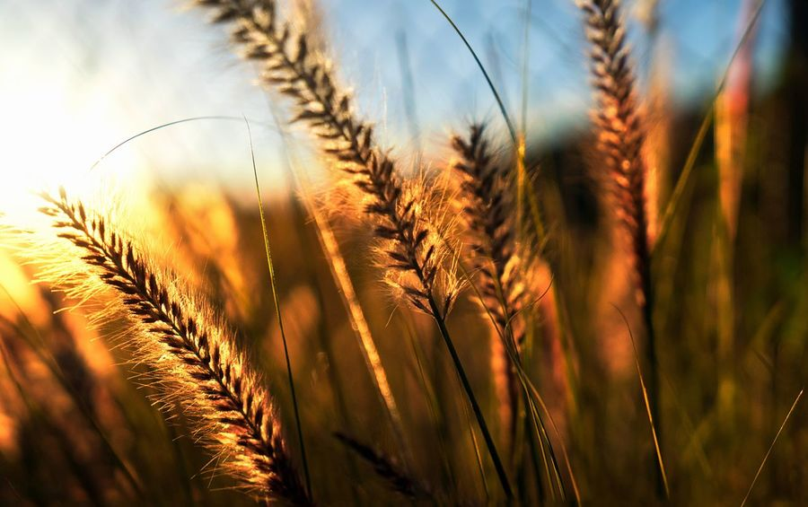 EyeEm Nature Lover Wild Oats Backlight Nature_collection The EyeEm Facebook Cover Challenge Depth Of Field Darkness And Light Portrait Of America Creative Light And Shadow Nature's Diversities The Essence Of Summer 43 Golden Moments Market Bestsellers September 2016 Bestsellers