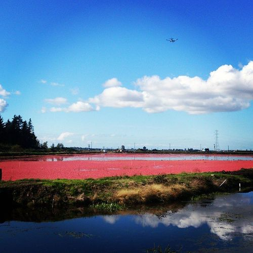 It's that time of Cranberry harvesting time of yr RichmondBC Yvr Steveston absolutely gorgeous day today.