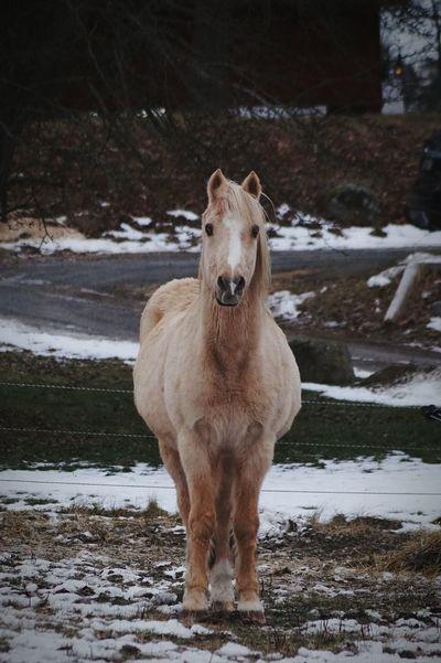 Björkvik 2017 Januari Niklas Showcase January 2017 Sweden Looking At Camera Animal Themes One Animal Mammal Outdoors Standing Horse BYOPaper! The Week On EyeEm Perspectives On Nature Shades Of Winter