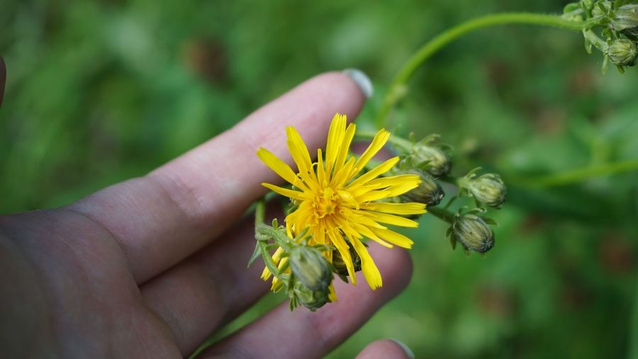 Close-up of hand holding yellow flower on plant