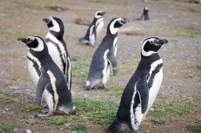 Chile Monumento Natural Los Pingüinos Trip Animal Animals In The Wild Group Of Animals Isla Magdalena Island Nature No People Penguin Penguins Punta Arenas Standing Strait Of Magellan