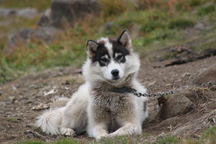 Husky Relaxing On Field
