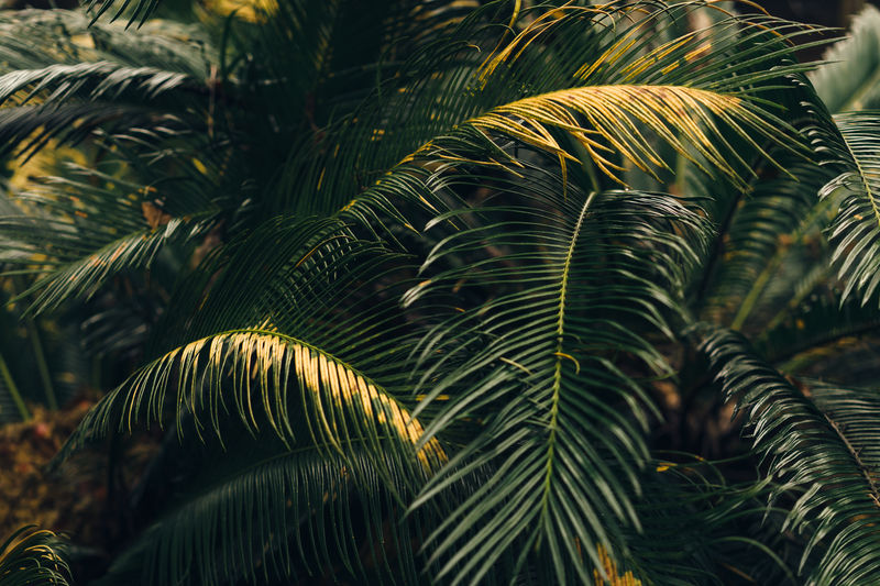 Backgrounds Beauty In Nature Branch Close-up Cycad Day Fern Full Frame Green Color Growth Leaf Low Angle View Natural Pattern Nature No People Outdoors Palm Leaf Palm Tree Plant Tranquility Tree