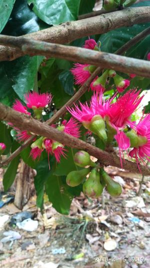 jamaica jambu flower Flower Head Flower Springtime Petal Pink Color Close-up Plant