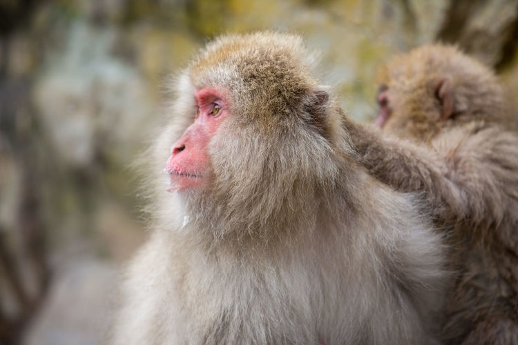 Animal Animal Family Animal Hair Animal Head  Animal Themes Animal Wildlife Animals In The Wild Care Close-up Cold Temperature Day Focus On Foreground Group Of Animals Hair Japanese Macaque Looking Mammal Monkey No People Outdoors Primate Vertebrate White Hair