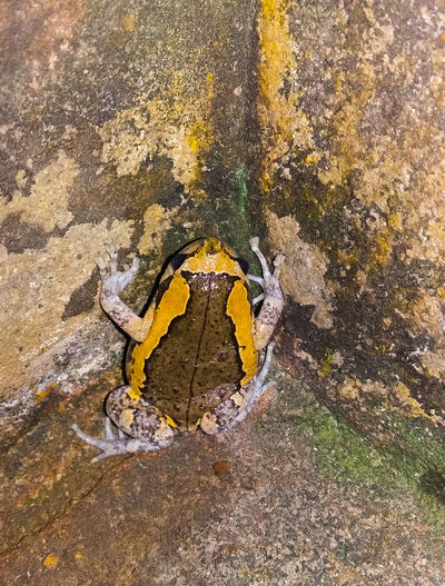 Animals Old Cement Wall Wall Art Watet Yellow Backgrounds Cloth Close-up Bullfrog Cement
