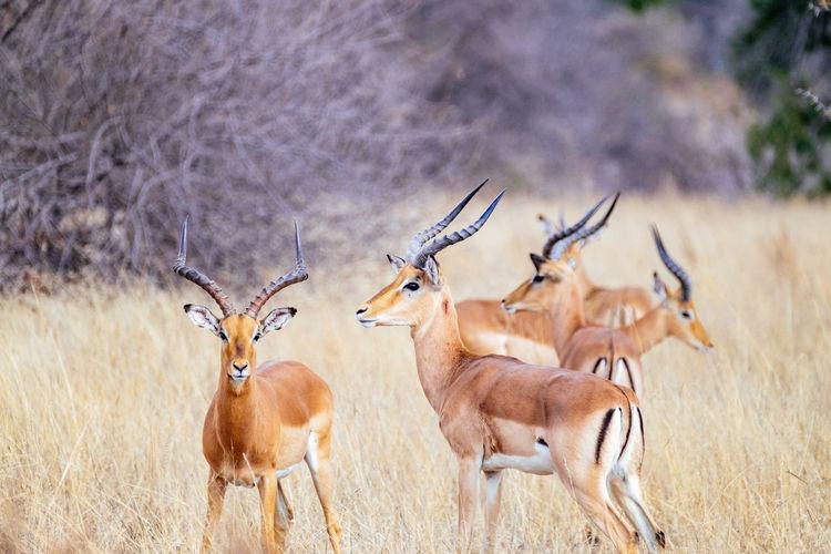 Impalas standing on field