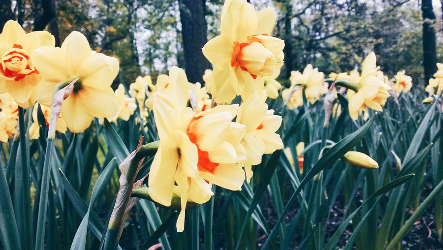 Close-up of daffodils blooming in park