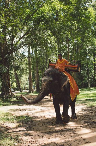 Siem Reap Cambodia Angkor Elephant Tree Plant Land Animal Themes Animal Wildlife Animal Vertebrate Mammal Nature Day Domestic Animals Forest Growth Sunlight One Animal Horse Livestock Domestic Pets Herbivorous Outdoors